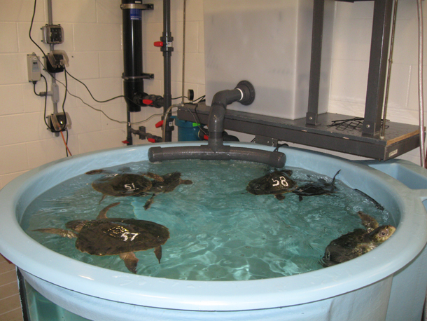 Numbered turtles swim in a small tank at the Animal Care Center in ...