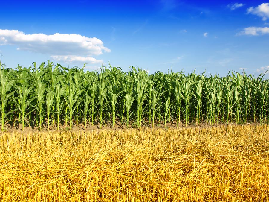 почему широкое фото кукурузы на поле заглох уже мой