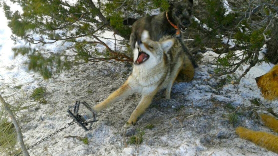 coyote caught in paw trap