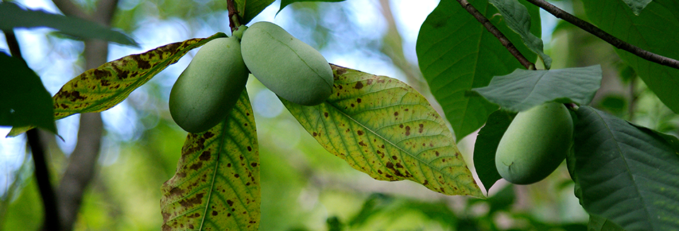 The largest edible fruit native to the U.S. is unknown to most, yet the pawpaw has earned a loyal following among those who are familiar with it. A new book peers into the pawpaw's storied past, how it's popularity has grown today, and why it's not a staple in the produce aisle.
