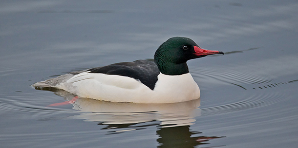 Living on Earth: BirdNote: Common Mergansers