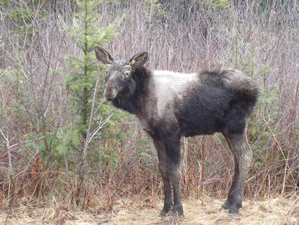 bull moose poem
