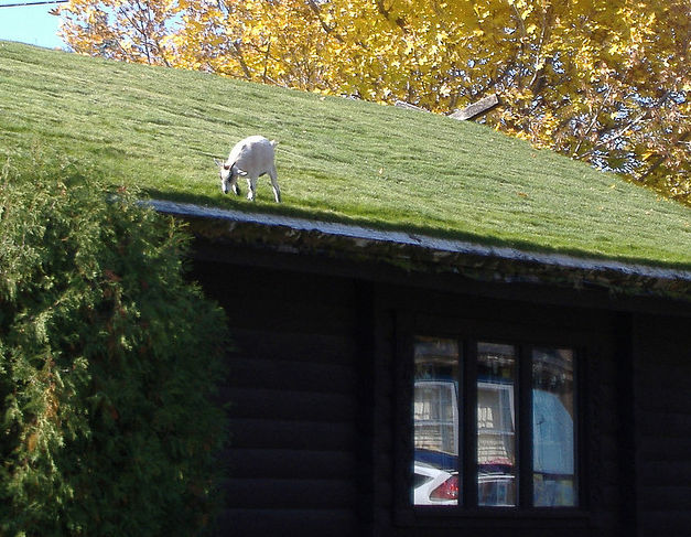 Living On Earth Up On The Roof With Goats