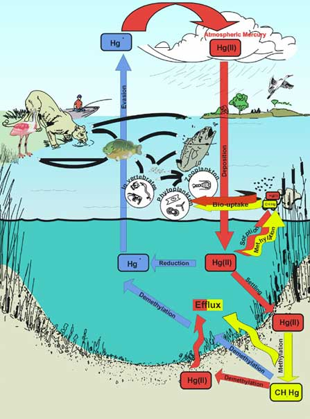 Living on earth florida mercury levels down for How does mercury get into fish